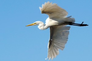 White Heron - Neuseeland